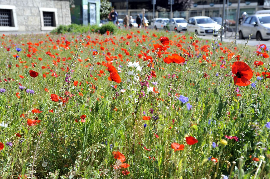 Prati fioriti a Milano